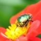 Cetonia Aurata on the Red Dahlia Flower - VideoHive Item for Sale