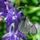 Black Veined White Butterfly on Aquilegia Flower - VideoHive Item for Sale