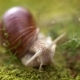 Helix Pomatia Also Roman Snail Burgundy Snail - VideoHive Item for Sale