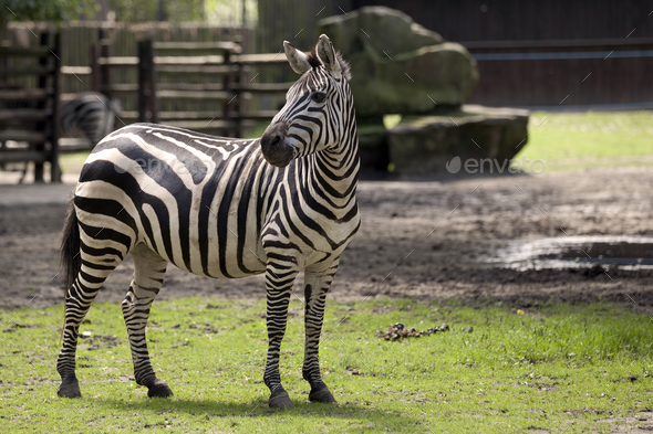 Zebra in a clearing  - Stock Photo - Images