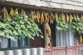 Hanged Corn - PhotoDune Item for Sale
