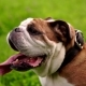 Beautiful Champion Male English Bulldog Standing in the Grass - VideoHive Item for Sale