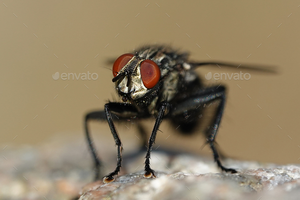Flesh fly (Sarcophaga) - Stock Photo - Images