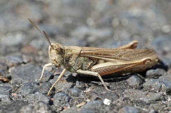 Grasshopper (Orthoptera) - Stock Photo - Images