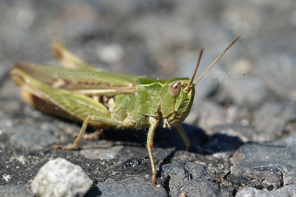 Grasshopper (Orthoptera) macro photo - Stock Photo - Images
