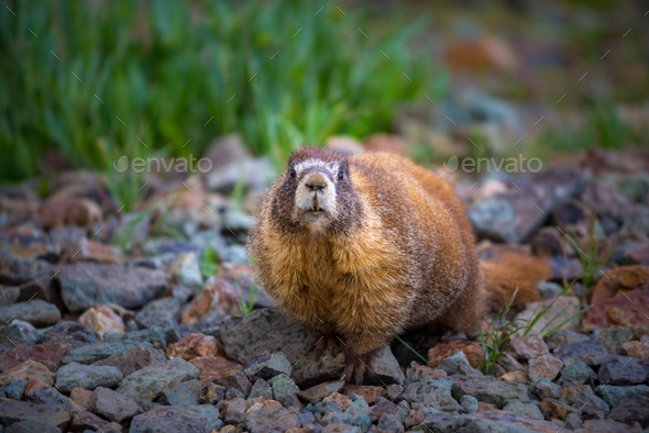 Yellow-bellied Marmot close-up Colorado Rocky Mountains - Stock Photo - Images