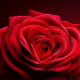 Rose - GraphicRiver Item for Sale