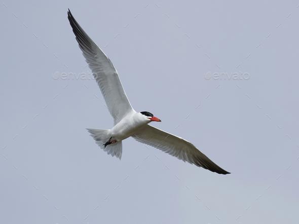 Caspian tern (Hydroprogne caspia) - Stock Photo - Images