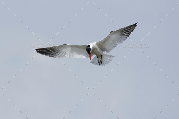Caspian tern (Hydroprogne caspia) - Stock Photo - Images