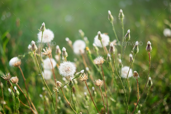 Dandelions in backlight on green meadow - Stock Photo - Images