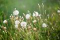 Dandelions in backlight on green meadow - PhotoDune Item for Sale