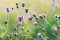 Thistle flowers. Shallow depth of field - PhotoDune Item for Sale