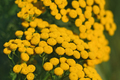 Tansy or tanacetum vulgare close-up - PhotoDune Item for Sale