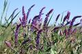 Salvia flowers on blue sky background - PhotoDune Item for Sale
