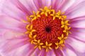 Zinnia flower in macro - PhotoDune Item for Sale