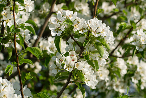 Blossom of wild pear close-up - Stock Photo - Images