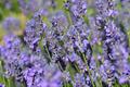 Beautiful lavender flowers - PhotoDune Item for Sale