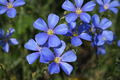 Flax flowers close-up - PhotoDune Item for Sale