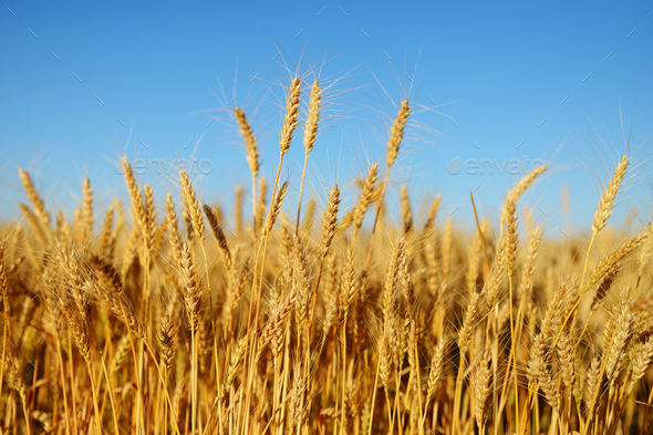 Golden wheat ears on field - Stock Photo - Images