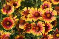 Gaillardia flowers close-up - PhotoDune Item for Sale
