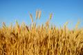 Golden wheat ears on field - PhotoDune Item for Sale