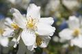 Flower of jasmine close-up - PhotoDune Item for Sale
