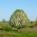 Lonely wild pear blossom tree - PhotoDune Item for Sale