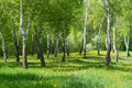Landscape with birch trees and dandelion flowers - PhotoDune Item for Sale
