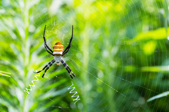 wasp spider closeup - Stock Photo - Images