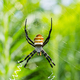 wasp spider closeup, argiope bruennichi on his web - PhotoDune Item for Sale