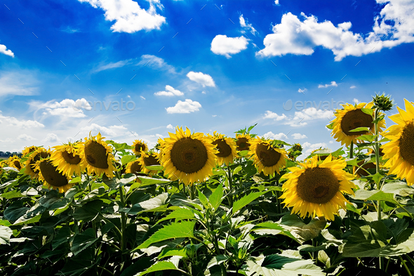 Field with sunflowers against the blue sky. Beautiful landscape - Stock Photo - Images