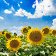 Field with sunflowers against the blue sky. Beautiful landscape - PhotoDune Item for Sale