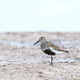 Dunlin (Calidris alpina) - PhotoDune Item for Sale