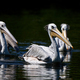 Pink-backed pelican (Pelecanus rufescens) - PhotoDune Item for Sale