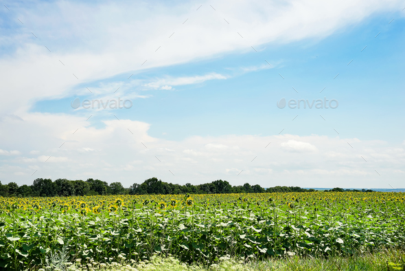 Sunflower field landscape with green forest. Sunflowers close under rainy clouds - Stock Photo - Images