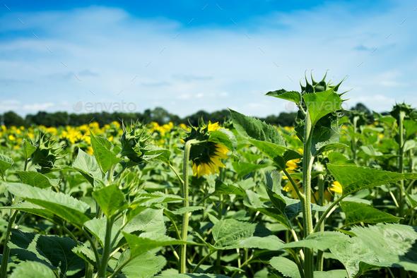 Sunflower field landscape. Sunflowers close under rainy clouds - Stock Photo - Images