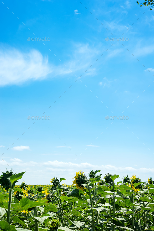 Big field of sunflowers on a blue sky background. Composition of nature. - Stock Photo - Images