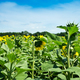 Sunflower field landscape. Sunflowers close under rainy clouds - PhotoDune Item for Sale