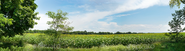 Nature panoramic landscape: Field of the yellow sunflowers. Sky and clouds - Stock Photo - Images
