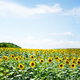 Nature Vertical Panorama landscape: Field of the yellow sunflowers. Sky and clouds - PhotoDune Item for Sale