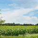 Nature panoramic landscape: Field of the yellow sunflowers. Sky and clouds - PhotoDune Item for Sale