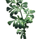 Common rue ruta graveolens, paths - PhotoDune Item for Sale