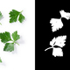 Flat-leaved parsley leaves - PhotoDune Item for Sale