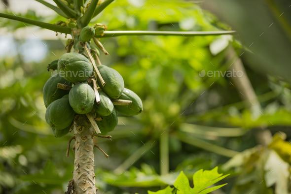 Avocado Tree Fruits Close Up Stock Photo By Alessandrozocc Photodune