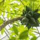 Avocado tree fruits close up. - PhotoDune Item for Sale