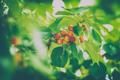 Tasty sweet cherries - PhotoDune Item for Sale