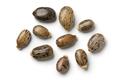 Seeds of a castor oil plant - PhotoDune Item for Sale