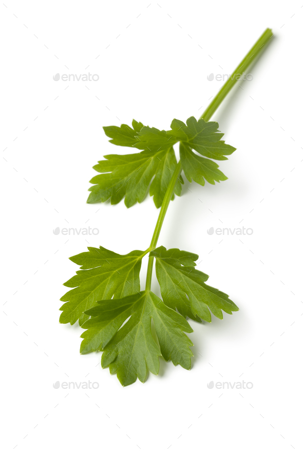 Single twig of fresh green lovage - Stock Photo - Images