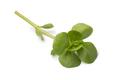 Single twig of  fresh raw common purslane - PhotoDune Item for Sale