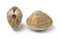 Fresh raw warty venus clams - PhotoDune Item for Sale